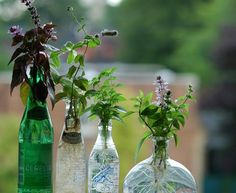 Herbs to Start in Water:Basil, Broadleaf Thyme/Cuban Oregano, Mint, Oregano Herbs to Start in Soil/Coir: Broadleaf Thyme/Cuban Oregano Lemon Verbena, Rosemary, Sage, Savory (Summer and Winter), Scented Geraniums, Stevia, Thyme