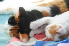 ebeveyn-çocuk 35 Cat | kedi Latte +