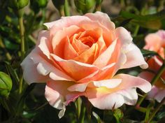 Floribunda Rose 'Absent Friends'