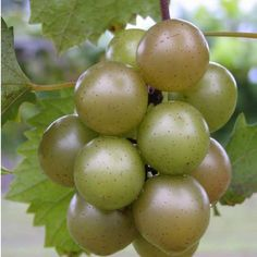 Muscadine Grapes in the South!