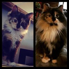 My pretty T-rah- from cute kitten to beautiful adult. cats funny pictures