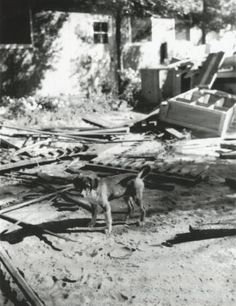 Camp Amache closure - 3 :: Camp Amache Digital Collection, dog amidst the rubble after the camp is closed