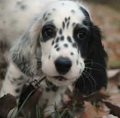 English Setter puppy...has to be the cutest thing in the world
