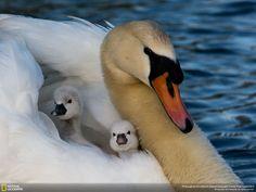 湖の白鳥 動物 高解像度で壁紙