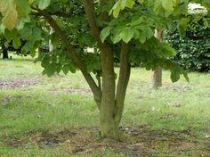 Parrotia persica (3-stammig)   Assortiment   De Zanderik
