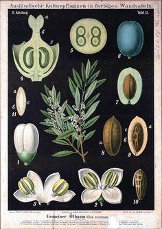 Botanical - Educational Plate - Black - Olea europaea L.