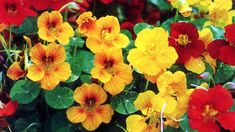 Nasturtium : : the peppery-tasting, saucer-shaped leaves and its brightly-coloured, trumpet-shaped flowers are high in vitamin C and contain vitamins B1, B2 and B3, iron, calcium, phosphorus and manganese. The oils of the nasturtium plant contain carotenoids and flavionoids - compounds that have been shown to boost the immune system and protect against carcinogens.