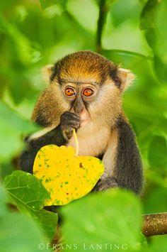 Mona monkey {Cercopithecus mona} :: Boabeng-Fiema Monkey Sanctuary, Ghana