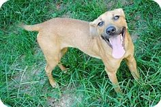 St Paul, MN - Shepherd (Unknown Type) Mix. Meet Scamper, a dog for adoption. http://www.adoptapet.com/pet/11570342-st-paul-minnesota-shepherd-unknown-type-mix