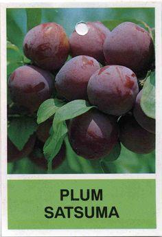 satsuma plum -Japanese