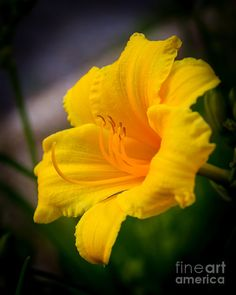 ✯ Yellow Lilly