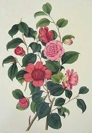Image result for sir joseph banks drawings