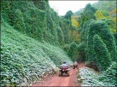 Kudzu taking over along a Hatfield McCoy Trail, WV.