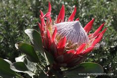 One of the Protea flowers featured in The Time In Between Garden by Husqvarna and Gardena at the 2015 RHS Chelsea Flower Show.