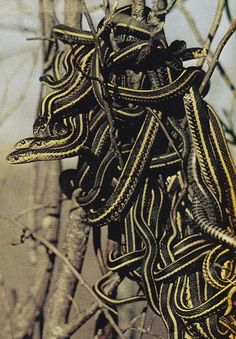 pile o snakes - This is Garter Snake...commonly the Garden snake..non poisonous and beautiful