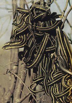 pile o snakes