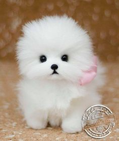 Puppy Spitz ,(made to order)teddy dog , little Spitz , pomeranian Stuffed dog collectible Artist toy Portrait pet animal by photoLow Cost Dog Vaccinations Near MeComical And Sweet: The Pomeranian - Champion Dogs Cute Small Dogs, Cute Baby Dogs, I Love Dogs, Cute Puppies, Toy Pomeranian Puppies, Spitz Pomeranian, Pomeranians, Fluffy Dogs, Cute Little Animals