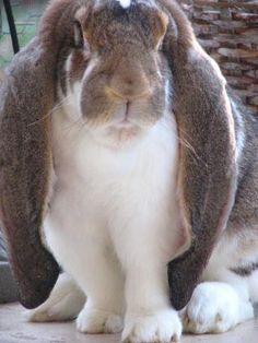 ~ English Lop Rabbit ~