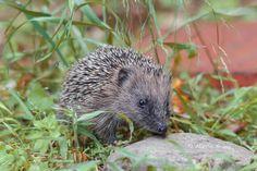 Riccio - hedgehog by Marco Brandi on 500px