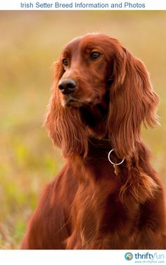 This guide contains Irish setter breed information and photos. These beautiful dogs are highly intelligent and independent in nature, and make  loyal and affectionate companions.