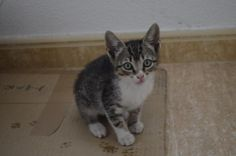 GREISY - Gato adoptado - AsoKa el Grande