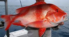 Fish Mounts, Rare Fish, Monster Fishing, Salt Water Fish, Cool Fish, Red Snapper, Ocean Creatures, Sport Fishing, Saltwater Fishing