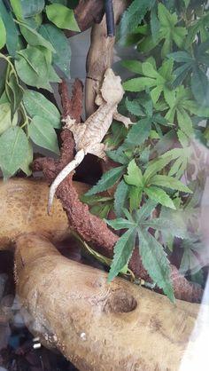 Crested gecko in viv