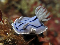 Chromodoris willani is a species of sea slug, a dorid nudibranch, a shell-less marine gastropod mollusk in the family Chromodorididae. The species is named for the renowned nudibranch taxonomist Dr. Richard C. Willan. ~~ photo by MerMaye