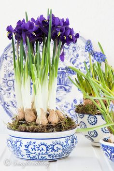 Decorating with Spring bulbs indoors : the bulbs and flowers look great  paired with with white and blue china.