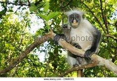 http://l7.alamy.com/zooms/0223782a51a045a1a311aa4a2dd5eb4f/zanzibar-red-colobus-procolobus-kirkii-immature-sitting-on-branch-cnmkw3.jpg