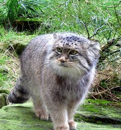 Pallas's cat was initially placed in the genus Felis. In 1858, the Russian explorer and naturalist Nikolai Severtzov proposed the name Otocolobus for the species.