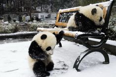 Awe pandas in the snow! i love pandas! Panda In Snow, Niedlicher Panda, Panda Bebe, Cute Panda, Cute Baby Animals, Funny Animals, Baby Pandas, Baby Bears, Photo Panda