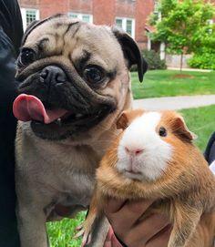 """We're unlikely best friends"" -#lovepugever #pug #pugsofinstagram #pugs #pugpuppies #pugpuppy #puggle #puglia #puglife #pugilato #puglicious #puglive #pugdaily #pugchat #pugsrock #pugrescue #pugpower #pugster #pughugs #pugsproud #pugliatop #pugtohug #puglove #puglyfe"