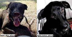 An event that resuscitates immense anger, bitterness and heartbreaking sadness. Spike, a sweet family dog, beaten to a pulp. His pads amputated. He died so horribly, please sign this petition to throw the man who did this in jail for a very long time!
