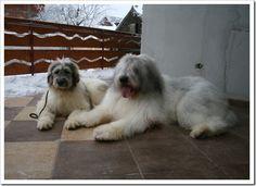 Ciobanesc mioritic (shepherd mioritic) originally from Bucovina, Romania