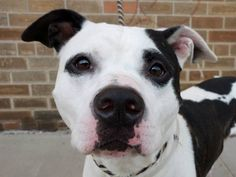 TO BE DESTROYED 10/3/13 Brooklyn Center - P. MUGSY. ID # is A0979677. I am a male white and br brindle pit bull mix. I am about 4 YEARS old.I came in the shelter as a OWNER SUR on 09/21/2013 due to home size. **Note: MUGSY IS BEING USED AS A BEHAVIOR HELPER DOG** This means Mugsy has a great personality with people & dogs!!!! He has lived with another dog before, and is playful with them. Mugsy is friendly toward children, & strangers, & is house trained. THIS IS A GREAT DOG-don't pass him…