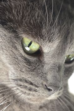 Kai, [Our] Russian Blue - view large!  great close-up!!!
