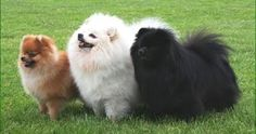 Is Your German Spitz Potty Trained Enough? House Training a puppy or adult German Spitz is such an essential issue for its owne...
