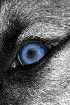 Image Detail for - Close-up Photo Of A Blue canid Eye Royalty Free Stock Photo ...