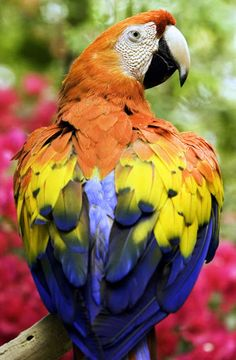 Love the Beautiful Feathers of this Macaw Tropical Birds, Exotic Birds, Colorful Birds, Pretty Birds, Beautiful Birds, Animals Beautiful, Cute Animals, All Birds, Love Birds
