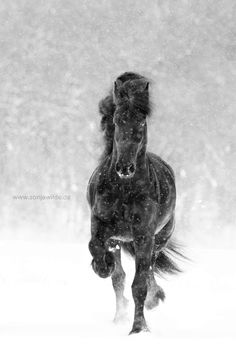 Friesian Horse galloping in the snowstorm.