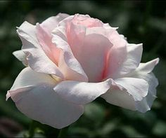 Great Century, Outstanding Hybrid Tea, Huge. (Heirloom Roses)