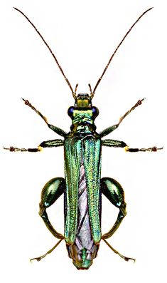 Photos - BUGS & INSECTS - Oedemera nobilis