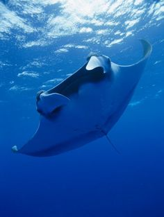 6bee4c08882b A Manta Ray Glides under the Surface of the Ocean Photographic Print
