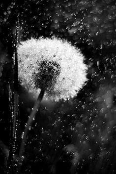 Dandelion rain....