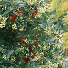 Arbutus unedo 'Compacta' plants from Thompson & Morgan - experts in the garden since 1855 Planting Shrubs, Garden Shrubs, Garden Trees, Trees And Shrubs, Trees To Plant, Arbutus Unedo, Strawberry Tree, Forest Garden, Unusual Plants