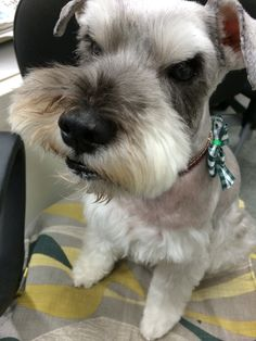 .every schnauzer I look at that reminds me of Pippin makes me cry