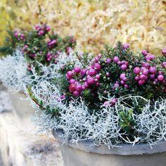 Hopealanka: hoito ja istutusideat   Meillä kotona Garden Yard Ideas, Garden Oasis, Autumn Photography, Outdoor Living, Outdoor Decor, Fall Flowers, Garden Inspiration, Container Gardening, Still Life
