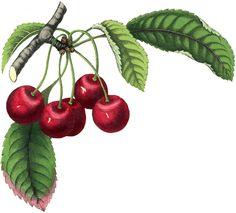 Best Vintage Cherries Image! - The Graphics Fairy