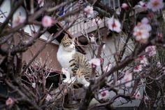 梅にネコ, cat surrunded by sakura japan